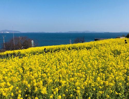 田尻の菜の花は満開です