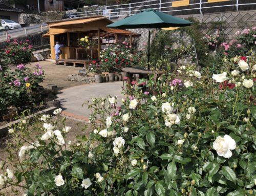 田尻ばら園は見頃を迎えています