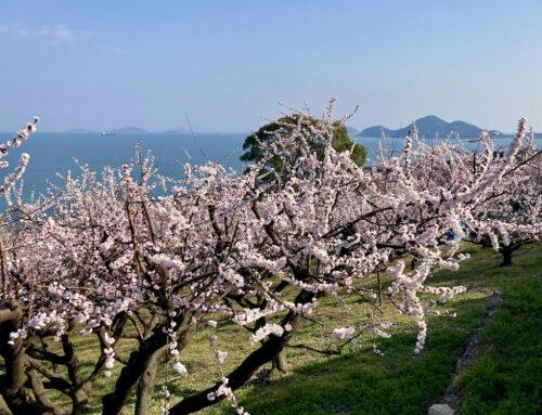 田尻のあんずは今が満開です。(2021年春)